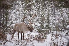 Caribou de région boisée masculin Photo libre de droits