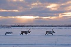 Caribou de région boisée de migration Photos stock