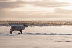 Caribou de région boisée sur le mouvement Photos stock