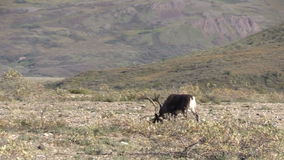 Caribou de terre stérile Taureau clips vidéos