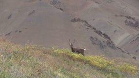 Caribou de terre stérile Taureau dans le bourdonnement de velours  clips vidéos