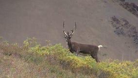 Caribou de terre stérile Taureau en velours banque de vidéos
