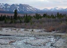 Caribou in Denali Stock Image