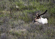 Caribou in Denali National Park Royalty Free Stock Image
