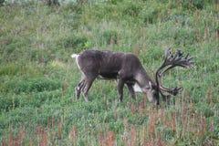 Caribou, Denali National Park, Alaska Royalty Free Stock Image