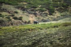Caribou at Denali National Park Royalty Free Stock Images