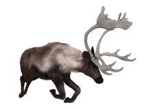 caribou du rendu 3D sur le blanc Photo stock