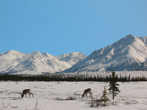 Caribou Eating in Broad Pass in the Alaska Range Royalty Free Stock Photography