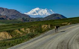 Caribou on empty street in Front of Mount Denali former Mount Mc Stock Photography