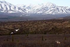 Caribou et montagnes Photographie stock