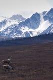 Caribou et montagnes Photos stock