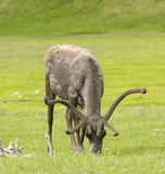 Caribou feeding Royalty Free Stock Images