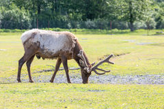 Caribou Feeding in Grass Royalty Free Stock Photography