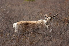 Caribou in Field Royalty Free Stock Image