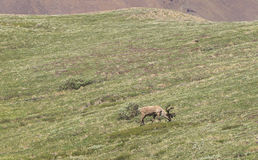 Caribou grazes in the tundra. In Alaska stock photography