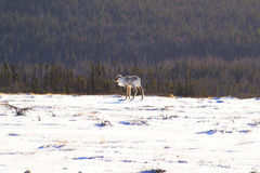 Caribou in Gros Morne National Park Royalty Free Stock Photo