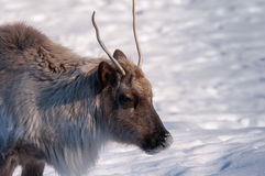 Caribou head close-up in winter. 1 Stock Photos