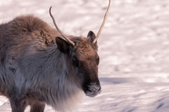 Caribou head close-up in winter. 1 Stock Photo