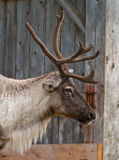 Caribou head with nice antler Royalty Free Stock Photo