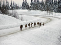 Caribou on Highway Stock Photo