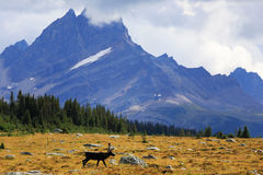 Caribou, Jasper National Park. Male caribou with Thunderbolt peak in the background, Jasper National Park royalty free stock image