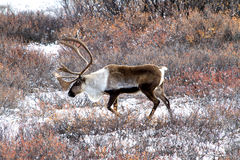 Caribou Looking for Food in the Snow in Alaska. A male caribou wanders a tundra valley with fresh snow in Denali Alaska, looking for food before winter Stock Photography