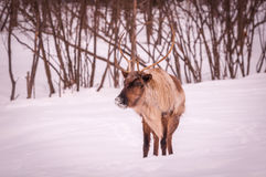 Caribou looking for food in winter. 1 Royalty Free Stock Photos