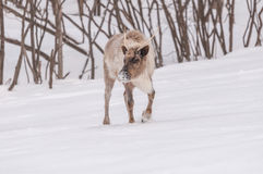Caribou looking for food in winter. 1 Stock Photos
