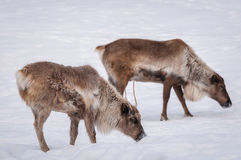 Caribou looking for food in winter. 1 Royalty Free Stock Image