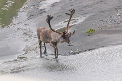 Caribou. A male caribou in Denali National Park royalty free stock photo