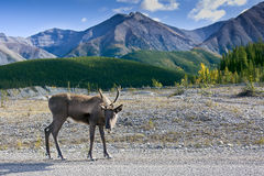 Caribou With Mountain Backdrop Stock Photo