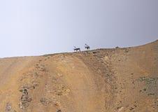 Caribou on a Mountain Ridge Royalty Free Stock Image