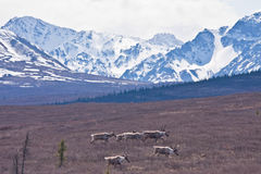 Caribou and Mountains Stock Photos