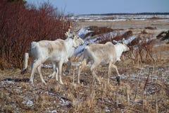 Caribou in Gros Morne National Park  Newfoundland. Newfoundland Caribou on the run Royalty Free Stock Photos