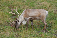 Caribou. A caribou in the outdoors stock photography