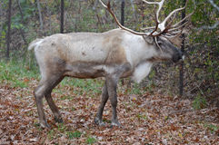 Caribou. A caribou in the outdoors stock image