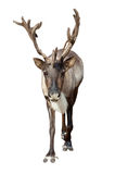 Caribou over white Stock Photography