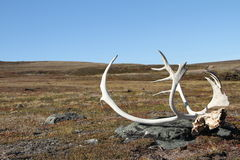 Caribou poroże na tundrze Obraz Stock