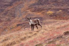 Caribou Poses Royalty Free Stock Photo
