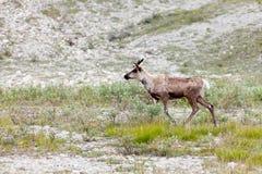 Caribou Rangifer tarandus roaming northern tundra Stock Photos