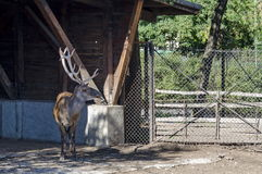 Caribou,  reindeer or Rangifer in watching in front alcove. Sofia, Bulgaria Royalty Free Stock Image