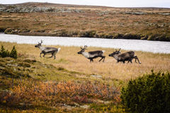 Caribou or reindeer on Swedish tundra. Herd of caribou or reindeer running across tundra in Sweden on sunny autumn day Stock Image