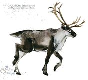 Caribou. reindeer watercolor illustration. Wild Lapland animals Stock Images