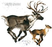 Caribou. reindeer watercolor illustration. Wild Lapland animals Royalty Free Stock Photos