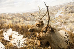 Caribou Resting Royalty Free Stock Image