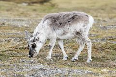 Caribou is on the search for food in the barren landscape of Spitsbergen. Norway Stock Image