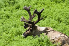 Caribou Shedding Royalty Free Stock Photography