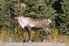 Caribou Shows Off. Caribou showing off by the side of the road stock images