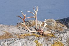 Caribou Skull and Antlers in a Remote Arctic Village royalty free stock photography