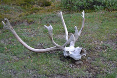 Caribou skull and antlers Stock Photos